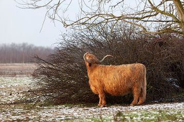 Schottischer Highlander im Schnee von Miranda Geerts