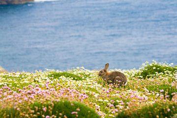 Konijn tussen de bloemen en met de blauwe oceaan op de achtergrond op Skomer eiland in Pembrokeshire van Ramon Harkema