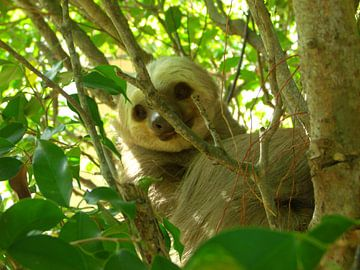 Luiaard in Ficusboom  van Rianne Magic moments