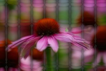 Échinacée rouge (Echinacea purpurea) sur Carla van Zomeren