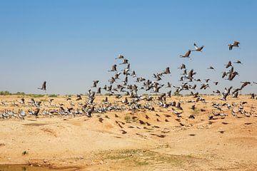 Troep van demoiselle crains die in blauwe hemel, Rajasthan, India vliegen van Tjeerd Kruse