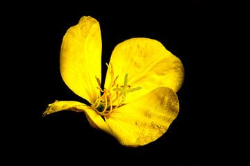 Gelbe Blüte vor schwarzem Hintergrund