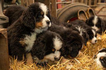 Berner pups op een  rijtje van Bob de Bruin