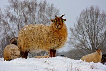 Drenthe Heideschafe im Schnee von Jeannette Braamskamp