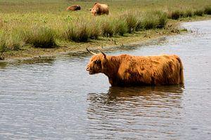Badende Schotse Hooglander