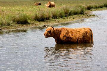 Schottischer Hochländer badet von Carin Klabbers