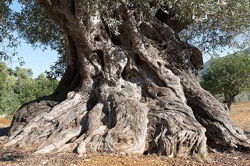Oude Spaanse olijfboom van Peter Schütte