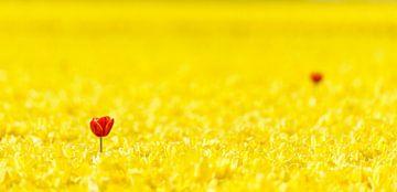 Twee rode tulpen in een geel Tulpenveld von