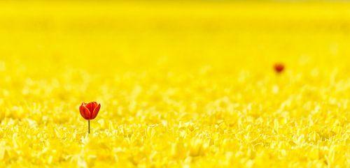 Twee rode tulpen in een geel Tulpenveld