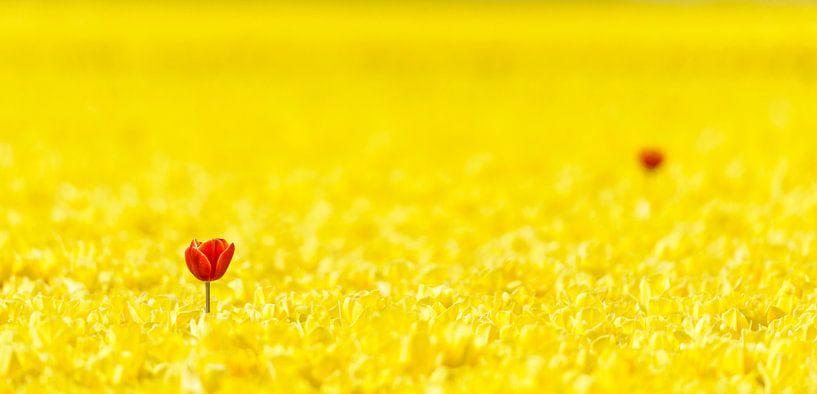 Twee rode tulpen in een geel Tulpenveld van Sjoerd van der Wal