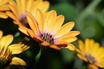 orange flowers / oranje bloemen van Pascal Engelbarts