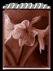 Polaroid Amaryllis