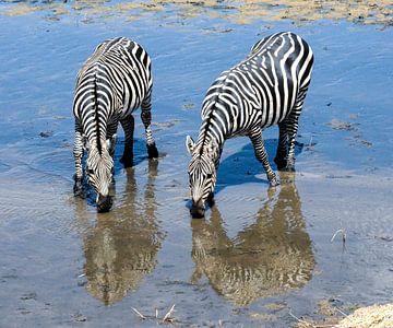 Zebra's in reflectie van Karin Mooren