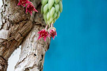 Kaktusblüte von Ben Bolwerk