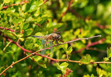 Libelle auf einem Zweig von Merijn Loch