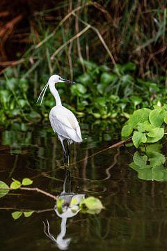 héron blanc dans le Nil en Ouganda sur Eric van Nieuwland