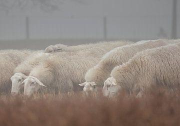 Schapen van de Edese kudde in Nederland