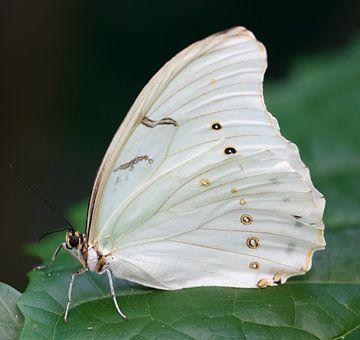 Witte Morpho van Ingrid Ronde
