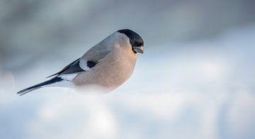 Goudvink / Bullfinch van Pascal De Munck