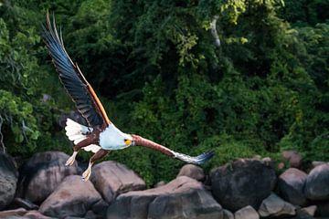 Fischadler auf der Flucht von Ramon Lucas