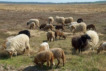 Schafe auf dem Moor von wil spijker