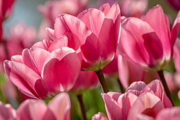 Roze Tulpen in de Keukenhof van Mario Brussé