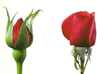 Zwei rote Rosenblüten von David Potter