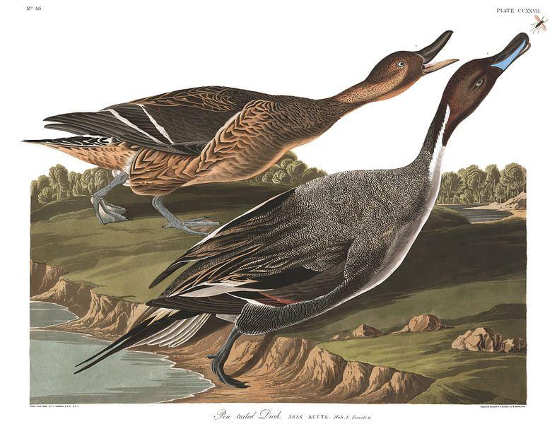 Pijlstaart van Birds of America