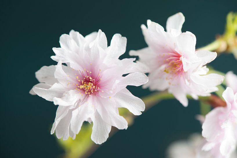Sakura beauty van Remke Spijkers