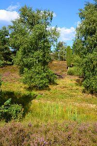 Luneburg Heath in Bloom