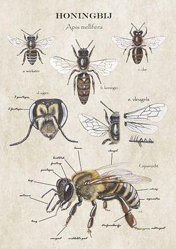 Anatomie van de Honingbij van buiten van Jasper de Ruiter