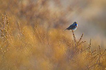 Blauwborst zingend in duindoorns van Menno van Duijn