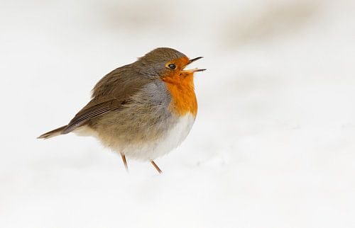 Roodborst in een wolk van sneeuw