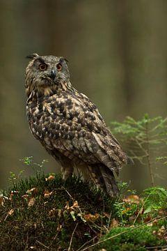 De oehoe ( Europese oehoe ( Europese oehoe, Bubo bubo ) zit in het bos en kijkt om zich heen. van wunderbare Erde