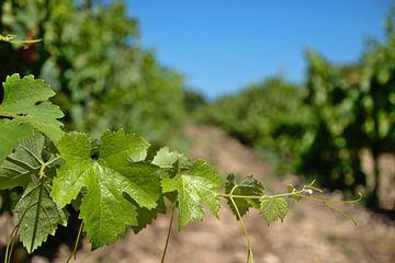 Wijngaard in Frankrijk van Jerke Taeymans