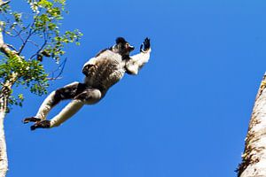 Vliegende Indri Indri van