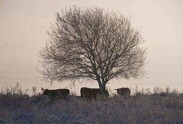 Schotse hooglanders in sneeuw landschap van Elise Daanen