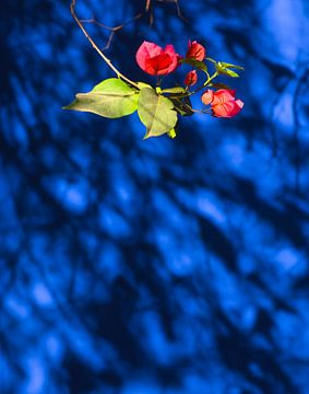Bloem op Blauw van Ton van den Boogaard