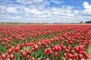 Rode Tulpen op Texel / Red Tulips on Texel