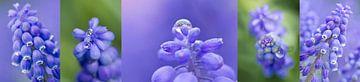 panorama 5 luik van macro blauwe druif van Sandra Keereweer