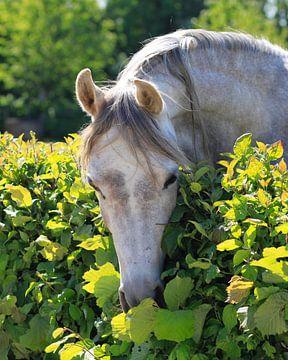 Wit paard van Harrie Beuken
