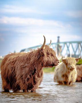 Schotse Hooglander met Nijmegen de achtergrond. van Nicky Kapel