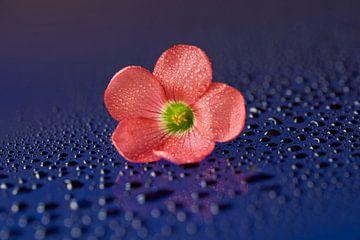 Roze bloem met water druppels van Cor de Hamer