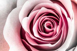 Rose Art van Geert Huberts