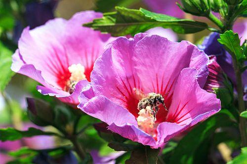 Hibiscus Bij van Dennis van de Water