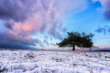 oude boom in de sneeuw van Robin van Maanen