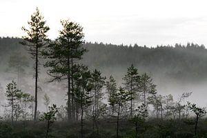 Mist in het dennenbos van