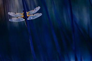 dragonfly in blue sur Pim Leijen