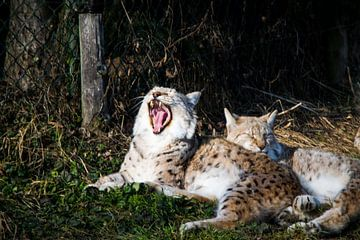 Gapende lynx van Abi Waren
