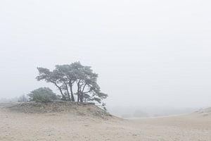 Karakteristieke boom op het Hulshorsterzand van